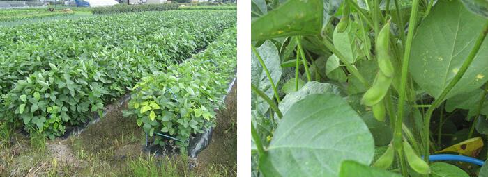 黒埼茶豆畑